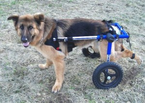 German Shepherd in cart